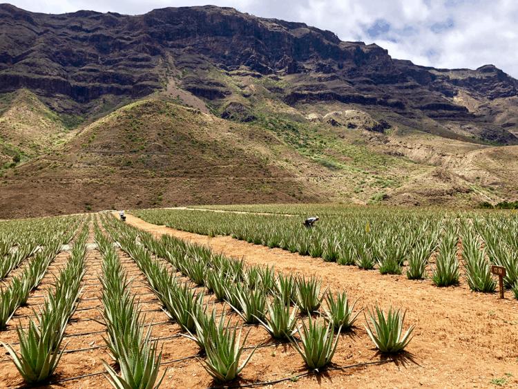 Emigreren Gran Canaria - Excursie tips - Bezoek een Aloe vera plantage op Gran Canaria - Bezoek een aloe vera plantage - Aloe vera plantage Fataga