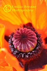 Orange Poppy, Purple Center