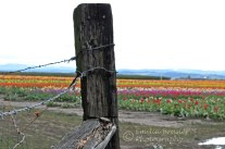 tulip field fence