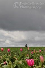 tulipfield1