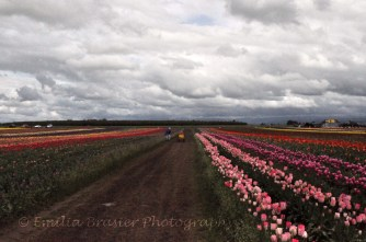 tulip fields 3