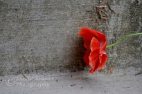 photograph of an orange poppy with grey background