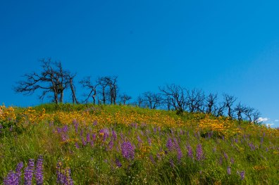 Burnt trees surrounded by beautiful wildflowers in Oregon.