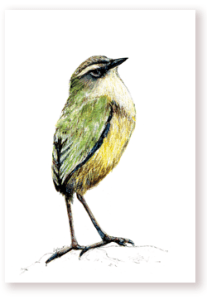 bird, new zealand , rock wren, illustration, nature, wild, tuke,