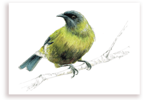 emilie geant, new zealand, bellbird, bird, painting, watercolor, New Zealand, native, art, print, poster, feather, hihi, stitchbird