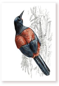 emilie geant, new zealand, , bird, painting, watercolor, New Zealand, native, art, print, poster, feather, tieke, saddleback