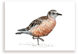 emilie geant, new zealand, , bird, painting, watercolor, New Zealand, native, art, print, poster, feather, dotterel