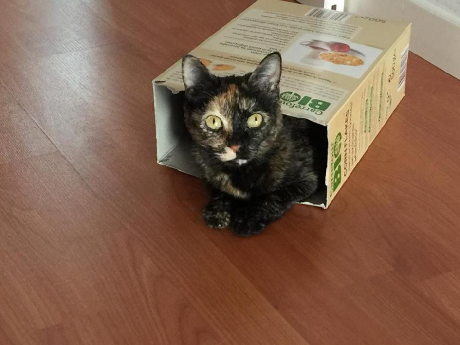 El origen de las gatas Carey