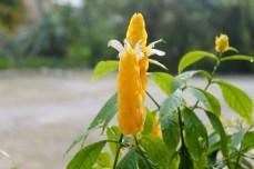 Flor camaron amarilla