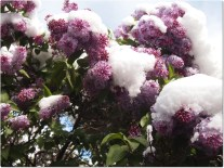 Late snow on lilacs