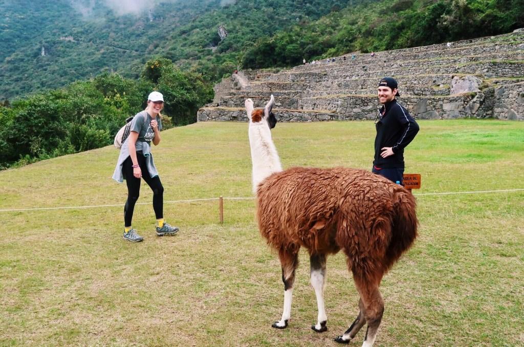 llama sighting at machu picchu peru emilyandy - tips and tricks for hiking to machu picchu