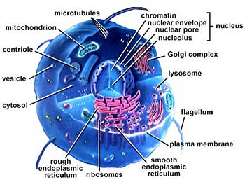 endoplasmic reticulum animal cell diagram john deere 317 ignition switch wiring july | 2012 biologyinteractivenotebook