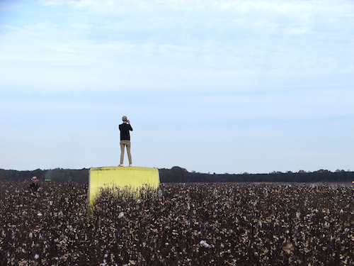 In the cotton fields, person standing on a bale