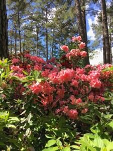 pink azaleas blooming under pine trees and a sunny sky