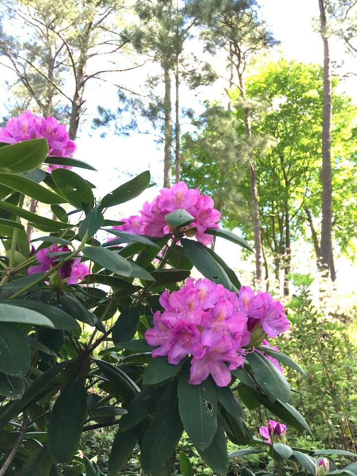 a pink rhododendron blooming under tall pine trees