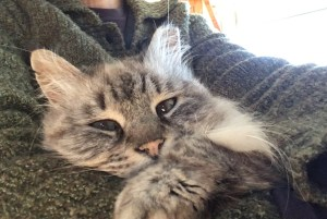 fluffy cat resting on sweater