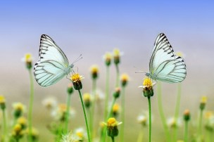 two matching butterflies on small flowers next to each other, facing each other