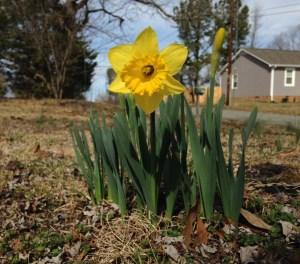 single daffodil growing on a lawn in a neighborhood