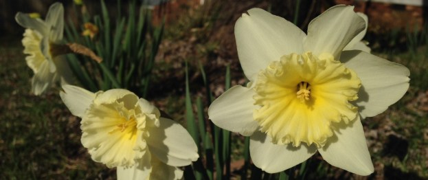 two daffodils in early morning sunshine