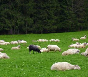 one black sheep eating in a field of white sheep