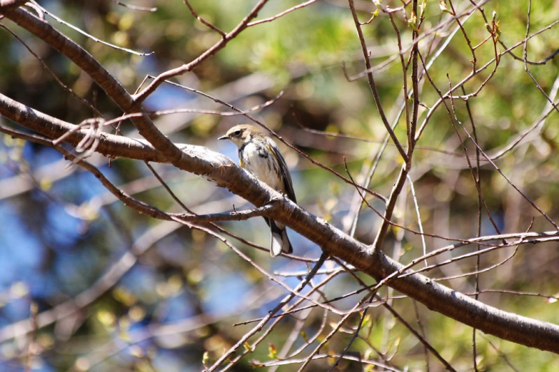 Yellow Rumped Warbler - Front