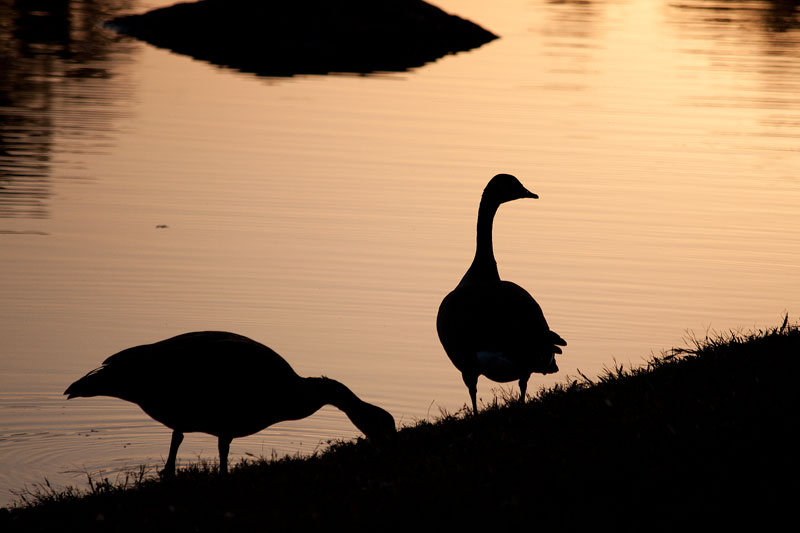 Geese in Silhouette