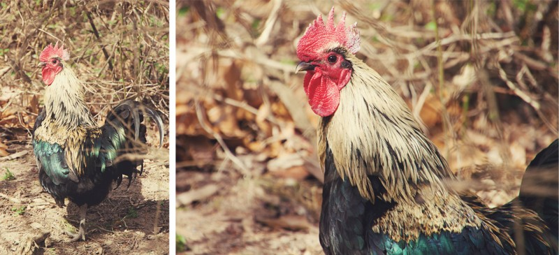 Rooster diptych