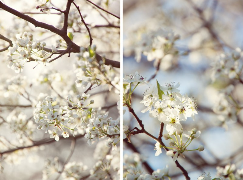 Bradford Pear Tree diptych