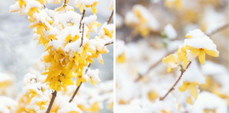 snowy forsythia diptych
