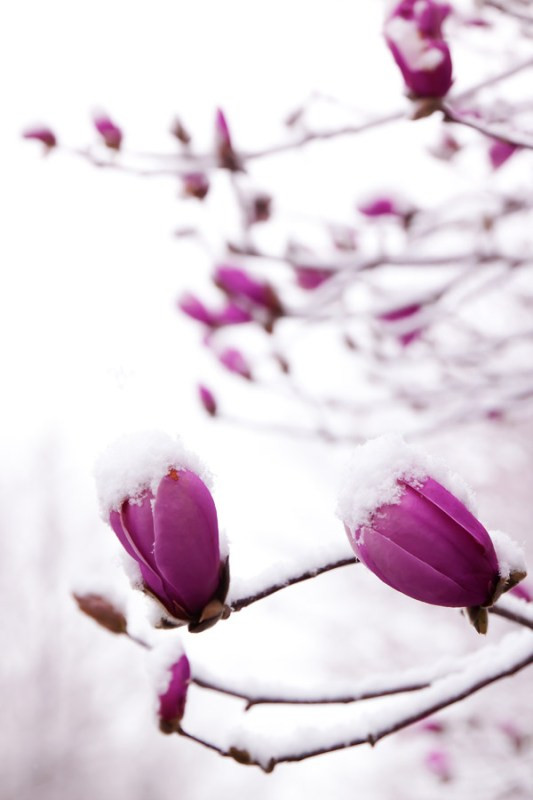 Saucer magnolias with snow