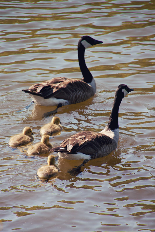 Goose family swimming