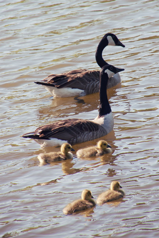 Goose family swimming