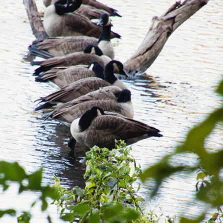 1007_geese-on-log