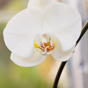 1115_orchid1