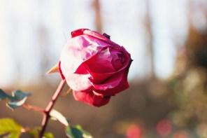 1115_rose1