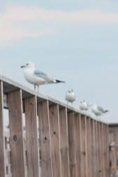 208_gulls1