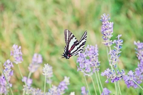 603_butterfly4