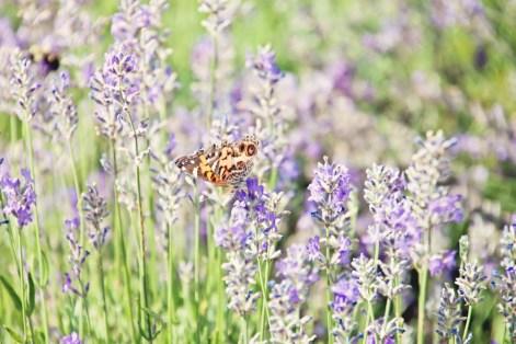 603_butterfly5