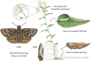 mottled duskywing butterfly erynnis martialis life cycle illustration