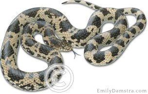 Northern Pine snake illustration – Emily S. Damstra
