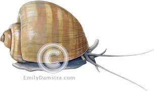 Channeled apple snail illustration Pomacea canaliculata