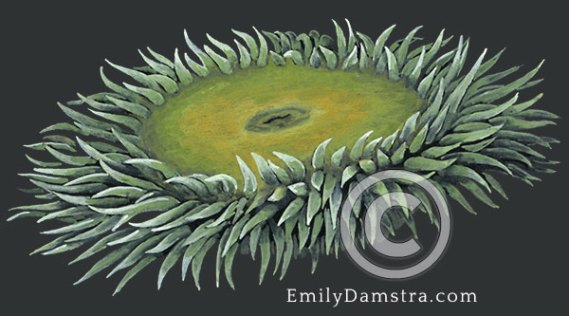 Giant green anemone illustration Anthopleura xanthogrammica
