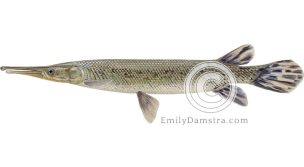 Alligator gar illustration Atractosteus spatula