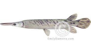 Tropical gar illustration Atractosteus tropicus