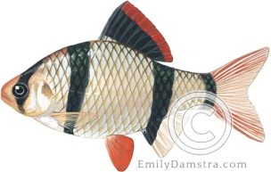 Tiger barb illustration Puntigrus Barbus tetrazona