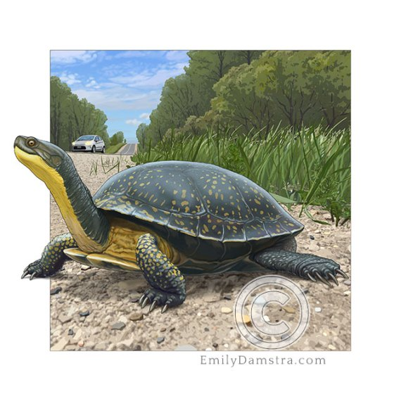 Illustration of a Blanding's Turtle (Emydoidea blandingii)