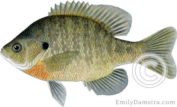 Bluegill sunfish lepomis macrochirus illustration
