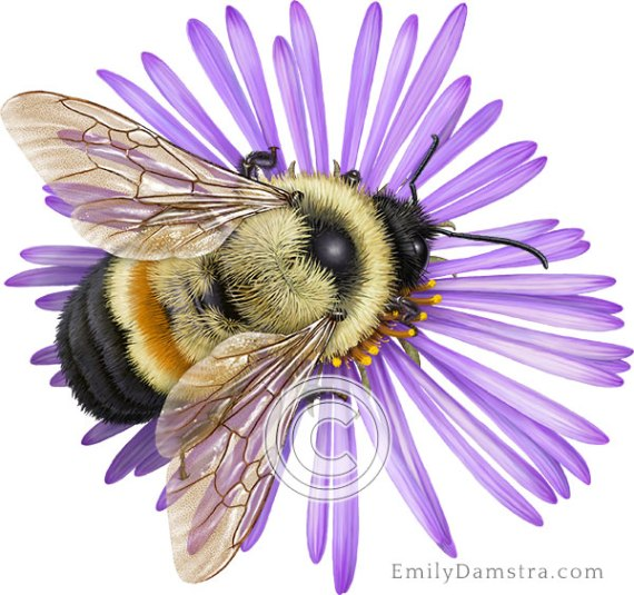 rusty patched bumble bee Bombus affinis illustration
