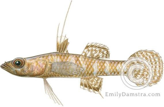 Fartail coraldgudgeon illustration Calumia eilperinae