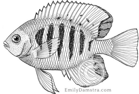Flame angelfish illustration Centropyge loricula